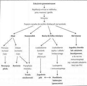 patogeneza-300x295 Panleukopenia - czym jest?