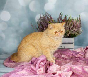 IMG_0576-300x261 Czego nie wiesz o kocie egzotycznym?