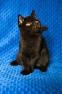 IMG_9866-200x300 Czy czarny kot przynosi pecha?