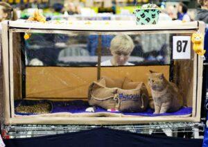 IMG_8835-1-300x212 Międzynarodowa Wystawa Kotów Rasowych - Pruszków 2019