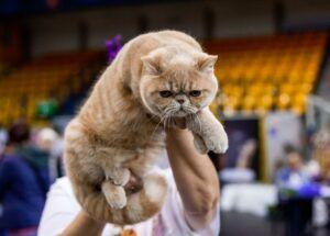 IMG_9652-300x215 Międzynarodowa Wystawa Kotów Rasowych - Pruszków 2019