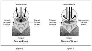 Brachycephalic-Syndrome-1-300x168 Zespół brachycefaliczny - co to jest?