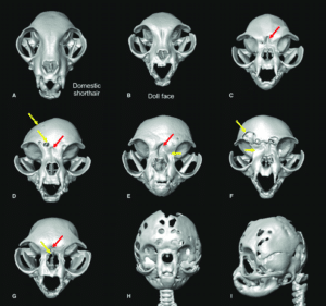 Skull-changes-in-peke-face-Persians-C-I-a-doll-face-Persian-B-compared-to-a-Domestic-300x281 Zespół brachycefaliczny - co to jest?